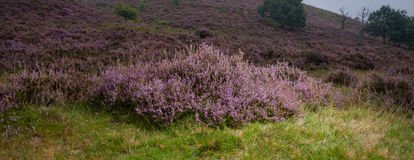 Detail of a flowering heather plant in dutch landscape Stock Photography