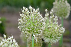Detail of flowering onion flower and seeds photography Stock Photo