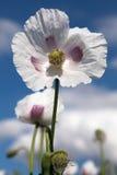 Detail of flowering opium poppy Stock Photos