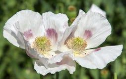 Detail of flowering opium poppy, poppy field. Detail of flowering opium poppy in Latin papaver somniferum, poppy field, white colored poppy is grown in Czech stock images