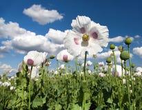 Detail of flowering opium poppy, poppy field Stock Photos