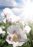 Detail of flowering opium poppy, poppy field Royalty Free Stock Images