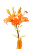 Detail of flowering orange lily Royalty Free Stock Photography