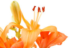 Detail of flowering orange lily Royalty Free Stock Photos