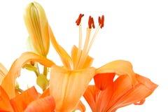 Detail of flowering orange lily Royalty Free Stock Photos