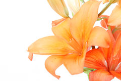 Detail of flowering orange lily Stock Photography
