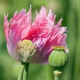 Detail of flowering poppy or opium poppy Stock Photo