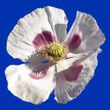 Detail of flowering poppy or opium poppy Stock Photos