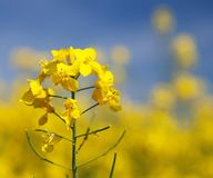 Flowering rapeseed canola or colza Royalty Free Stock Image