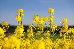 Detail of flowering rapeseed field, canola or colza Stock Photo
