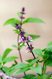 Thai Basil Stock Photo