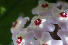 Detail of flowers of wax plant. Detail macro of flowers of a wax plant stock photo