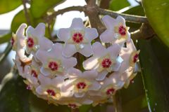 Detail of flowers of wax plant in sunshine royalty free stock image