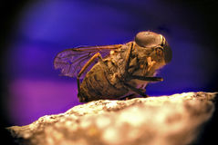 Detail of fly Royalty Free Stock Images