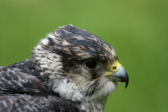 Detail of flying peregrine falcon Stock Photos