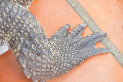 Detail, foot of juvenile crocodile Stock Photo