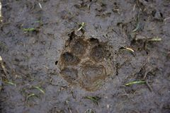 Footprint of a dog in the mud royalty free stock image