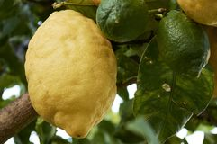 Detail in the foreground of Sorrento lemon Royalty Free Stock Image