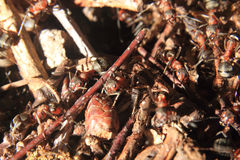 Detail of forest anthill Royalty Free Stock Image