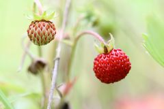 Wild strawberries - forest products Stock Photography