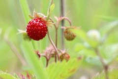 Wild strawberries - forest products Royalty Free Stock Images