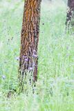 Red pines in Galicia Spain. Detail of a forest of red pines in Galicia Spain, with the ground covered with grass royalty free stock images
