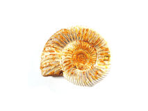 Detail of a fossilized ammonites Royalty Free Stock Photo