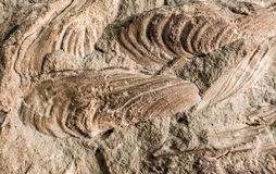 Detail of fossils Royalty Free Stock Image