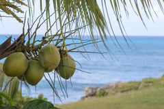 Detail of fresh coconuts growing on a palm tree. Caribbean sea in background Royalty Free Stock Photo