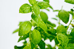 Detail of fresh basil plant Stock Photo