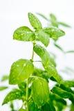 Detail of fresh basil plant Stock Image
