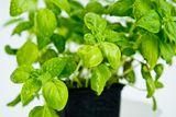 Detail of fresh basil plant Stock Photos