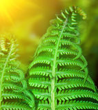 Detail of fresh green fern leafs in forest Stock Images