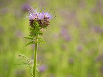 Detail of fresh Purple Tansy in field in background. Green blue purple flower Royalty Free Stock Photos