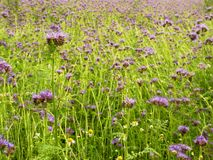 Detail of fresh Purple Tansy in field in background. Green blue purple flower Royalty Free Stock Photo