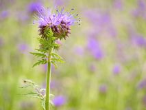 Detail of fresh Purple Tansy in field in background. Green blue purple flower Stock Photos