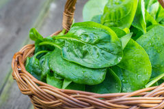 Detail on a Fresh Spinach leaves in a wicker basket. On Old Wooden Table Royalty Free Stock Image