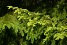 Detail of fresh spruce branch Royalty Free Stock Photography