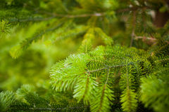 Detail of fresh spruce branch in forest Stock Photo
