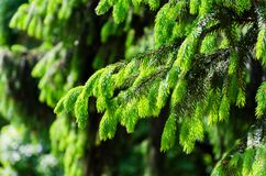 Detail of fresh spruce branch stock image