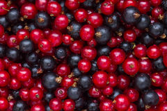 Detail of freshly picked red and black currants. Royalty Free Stock Photos