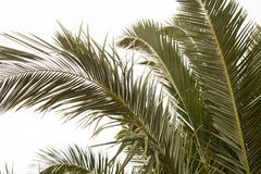 Fronds of a Date Palm stock photography