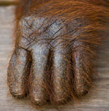 Detail of the front hand orangutan. Close-up. Indonesia. The island of Kalimantan (Borneo). stock photo