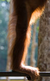 Detail of the front hand orangutan. Close-up. Indonesia. The island of Kalimantan (Borneo). royalty free stock image