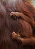Detail of the front hand orangutan. Close-up. Indonesia. The island of Kalimantan Borneo. royalty free stock photos