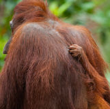 Detail of the front hand orangutan. Close-up. Indonesia. The island of Kalimantan Borneo. royalty free stock photo