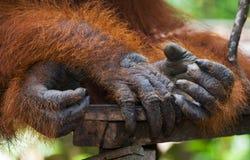 Detail of the front hand orangutan. Close-up. Indonesia. The island of Kalimantan Borneo. stock photos