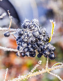 Detail of frozen blue berry Royalty Free Stock Images