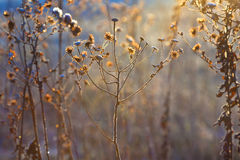Frozen plants in meadow with backlight in wintertime Royalty Free Stock Photography