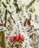 Winter frozen group of rosehip berries covered with ice Royalty Free Stock Image
